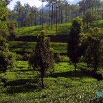 Tea-Garden-At-Elapara-On-The-Way-To-Vagamon
