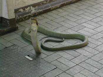 one head cobra 2 5 Headed snake in India